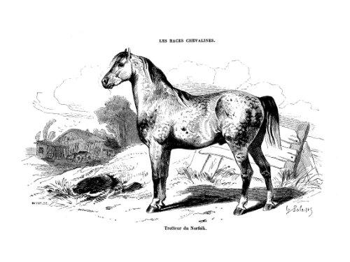 Les races chevalines - Gravure Cheval Trotteur du Norfolk