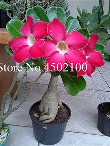 Pinkdose Vero 2 Pz Adenium Obesum Bonsai Esotico Rosa Del Deserto Bonsai Fiori In Vaso Balcone Multi-Color Petali Piante grasse Semi di piante: 22