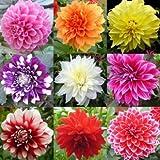 #10: BEE Garden Combo of Dahlia Seeds Pompon Flower Seeds (Pack Of 20 Seeds)