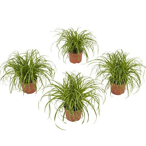 BOTANICLY | 4 × Plantas naturales - hierba gatos