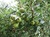 Tree Seeds online-Pyrus communis Conference Pear. 25Sementi, Paquet de 1