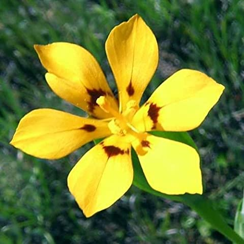 Sisyrinchium Patagonicum
