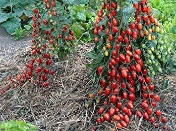BLACK Tomatensamen sehr schmackhaft Nutritive Heide Gemüse Samen 30 Samen / pack