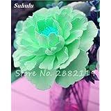 Raro color interior Semillas ornamentales Bonsai chino Peony Terraza Patio Jardín Decoración Paeonia suffruticosa Seeds 10 piezas de 12