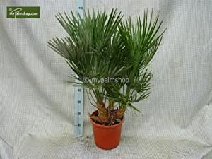 Palme, Chamaerops humilis, Zwergpalme, Gesamthöhe: 110-130cm Topf: Ø 25cm - 9 ltr.