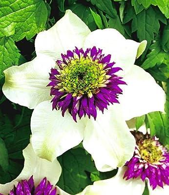BALDUR-Garten Waldrebe Clematis 'Florida Sieboldii', 1 Pflanze von Baldur-Garten auf Du und dein Garten