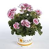 Geranie stehend (Pelargonium zonale) 'rosa mit Auge' 3 Pflanzen im 12er Topf