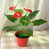 #9: poudha.com Anthurium Red Outdoor Red Live Flowering Plant