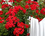 Bonsai For Beginners Beautiful Red Climbing Rose Bonsai Seeds (Pack Of 5) For Home Garden-by Creative Farmer