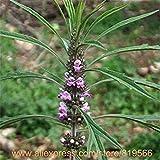 Cinesi Motherwort erba sementi tradizionali di erbe della salute Leonotis Leonurus Piante Medicina Leonurus Artemisia Herb Sementes