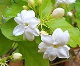 #3: Indian Gardening Live Arabian Jasmine Mogra Plant