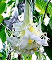 """BALDUR-Garten Engelstrompete """"Summer Magic"""" 1 Pflanze Brugmansia von Baldur-Garten bei Du und dein Garten"""
