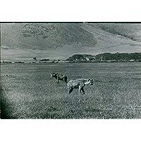 Foto vintage di 1983una foto di Hyenas Wondering nel campo dell
