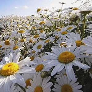 Wildflower - Oxeye Daisy - 8000 Seeds