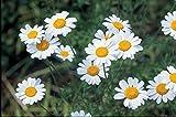 500 Semi di crisantemo Semi cinerariaefolium, semi piretro
