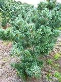 japanische Mädchenkiefer Pinus parviflora Glauca 30-40 cm hoch mit Ballen