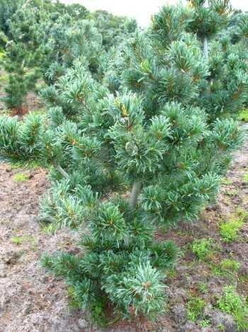 japanische Mädchenkiefer Pinus parviflora Glauca 25-30 cm hoch mit Ballen