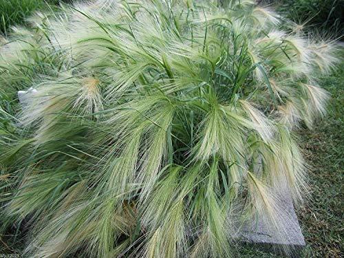 Shoppy Star: Erba ornamentale, Hordeum jubatum, scoiattolo-coda erba, Setaria Italica 100 semi
