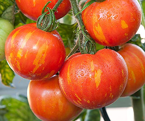 Bobby-Seeds Tomatensamen Red Zebra Portion