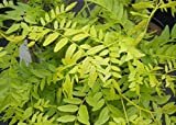 Gleditsia triacanthos Sunburst - Gold Gleditschie Sunburst - Amerikanische Gleditschie - Gelber Lederhülsenbaum - Falscher Christusdorn -Rarität