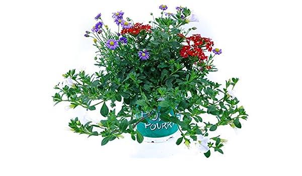 Zaubergl/öckchen, blaues G/änsebl/ümchen, Verbene Sommerblumen Trio Nr.5 rot-blau-weiss