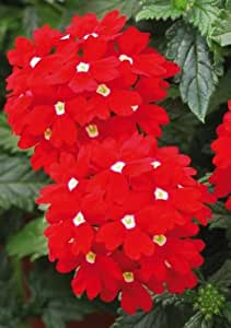 Premier Seeds Direct VER05F Verbena Hybrida Red With White Eye Finest Seeds (Pack of 200)