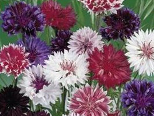 premier-seeds-direct-crn01f-cornflower-frosty-mix-finest-annual-seeds-pack-of-600