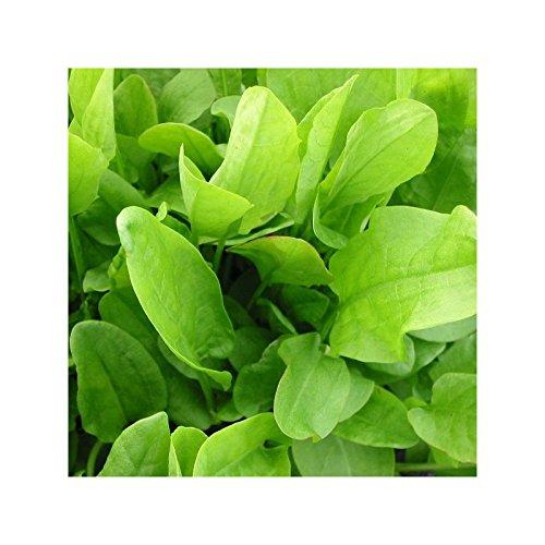 Oseille - Rumex acetosa - Pot de 1,5L (diamètre 15cm)