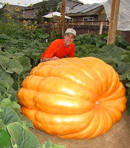 20pcs graines de citrouille géantes graines bio de citrouille d'Halloween Légumes aliments riches en nutriments non-OGM des plantes comestibles pour le jardin à la maison