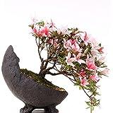 Bonsai–Jap. sats Uki azalee 'Hi de no de Maru', Rododendros Indicum 183/68