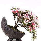 Bonsai - Shohin Jap. Satsuki Azalee 'Hi-no-Maru', Rhododendron indicum 183/68