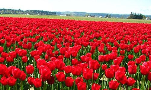 Toutes sortes de bulbes de tulipes belles fleurs de jardin sont appropriés pour les plantes en pot (il n'est pas une graine de tulipe) ampoules 2PC 19