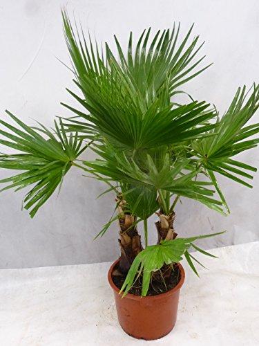 [Palmenlager] - Washingtonia robusta Doppelstamm 160 cm/Stämme 30 cm - Petticoat Palme