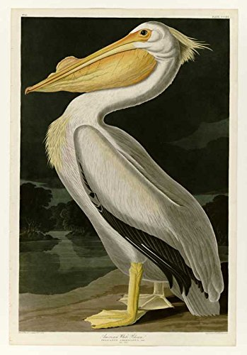 The Museum Outlet - Audubon - American White Pelican - Plate 311 - Poster Print Online (A3 Poster) by The Museum Outlet American White Plate