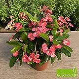 """Euphorbia milii """"Miliiana Rosata"""" (Spina di Cristo) [Vaso Ø12cm]"""