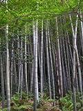 Winterharter -Moso Bambus- 100 Samen (-20C°) Riesenbambus Phyllostachys edulis >>Direcktimport aus China<<