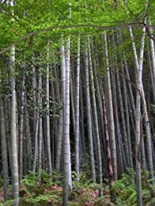 wow phyllostachys edulis moso bambus 1000 samen frostharter winterharter 20c riesenbambus. Black Bedroom Furniture Sets. Home Design Ideas