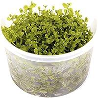 Tropica Micranthemum Monte Carlo 1 – 2-grow flotante frogbit Tissue Culture in vitro planta para Acuario Camarón Safe & Caracol libre