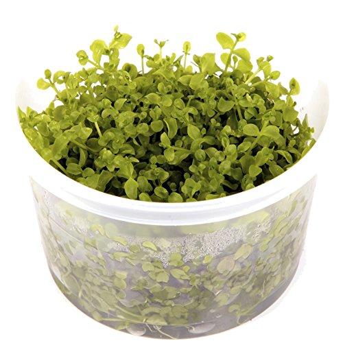 tropica-micranthemum-monte-carlo-1-2-grow-floating-frogbit-tissue-culture-in-vitro-live-aquarium-pla