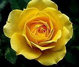 Portal Cool 300 Samen: Gelbe Rose Blumensamen Gartenpflanze, Get Buy 2 25% Rabatt, Uk Verkäufer