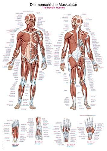 """Lehrtafel""""Die menschliche Muskulatur"""", 70x100cm"""