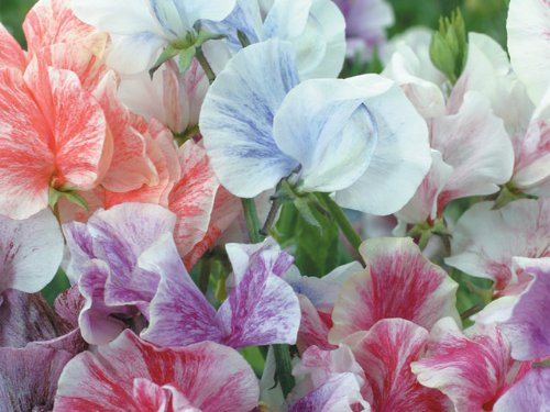 premier-seeds-direct-heaven-scent-mix-sweet-pea-with-finest-seeds-pack-of-40