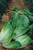 seekay Lechuga Invierno densidad - Aprox 2,000 Semillas - todo el año variedad