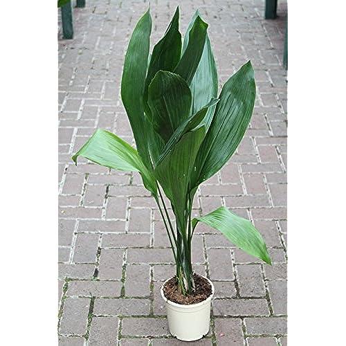 Large House Plants: Amazon.co.uk