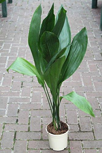 Zimmerpflanze für Wohnraum oder Büro – Aspidistra elatior – Schusterpalme 95cm - GROSSE PFLANZE 95cm hoch