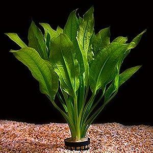 """Live Aquarium Plant """"Echinodorus bleheri"""" Potted"""