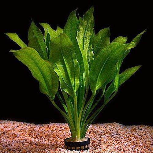 Planta viva para acuario
