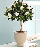 Natures Buggy Gardenia Live Plant / Cape Jasmine Live Plant