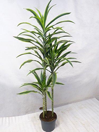 """[Palmenlager] - Dracaena fragrans\""""Lemon Lime\"""" 3er Tuff 190 cm/Drachenbaum - Zimmerpflanze"""