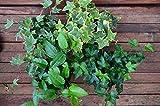 bodendeckender Efeu Sorten - Mix aus 4 verschiedenen Sorten 20 -25 cm breit im Rundtopf